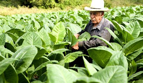 Produkce tabáku na Kubě klesá
